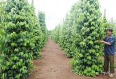 Bán vườn tiêu đang thu hoạch tại TX Bình Long, Bình Phước