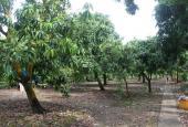 Cần bán đất vườn xoài đang thu hoạch xã Long Hoà 30 x 55m