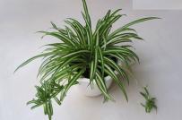 9 cây cảnh thanh lọc không khí nên trồng trong nhà