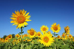 3 loại hoa giúp khai vận phòng làm việc