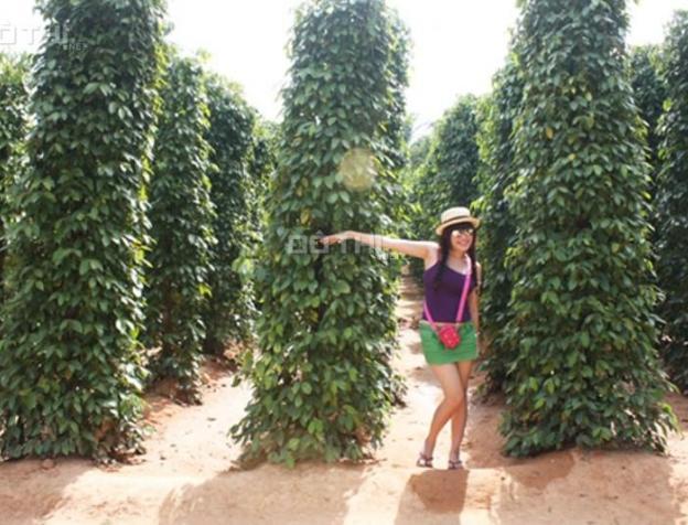 Bán vườn tiêu đang thu hoạch tại TX Bình Long, Bình Phước 6106975