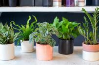 Trồng cây phong thủy trong nhà và những lỗi cần tránh