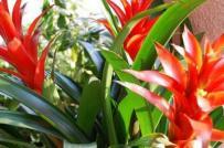 Cây dứa cảnh nến đỏ - đặc điểm và ý nghĩa phong thủy