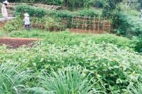 Nở rộ mô hình cho thuê đất trồng rau ở vùng ven Hà Nội