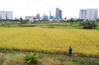 TP.HCM: 11 huyện, quận được chuyển đổi hơn 1.000 ha đất lúa