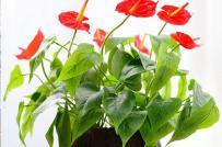 Cây hồng môn có ý nghĩa gì? Vai trò của cây hồng môn trong phong thủy?