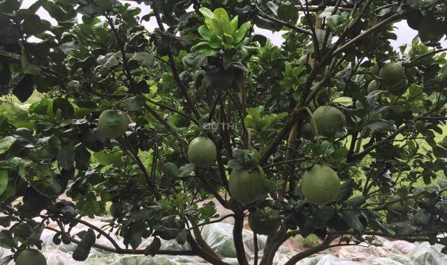 Bán đất vườn cam, bưởi đang thu hoạch sát sông Bé, gần chợ Tam Lập