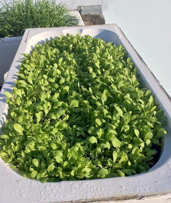 rau cải sạch trên sân thượng