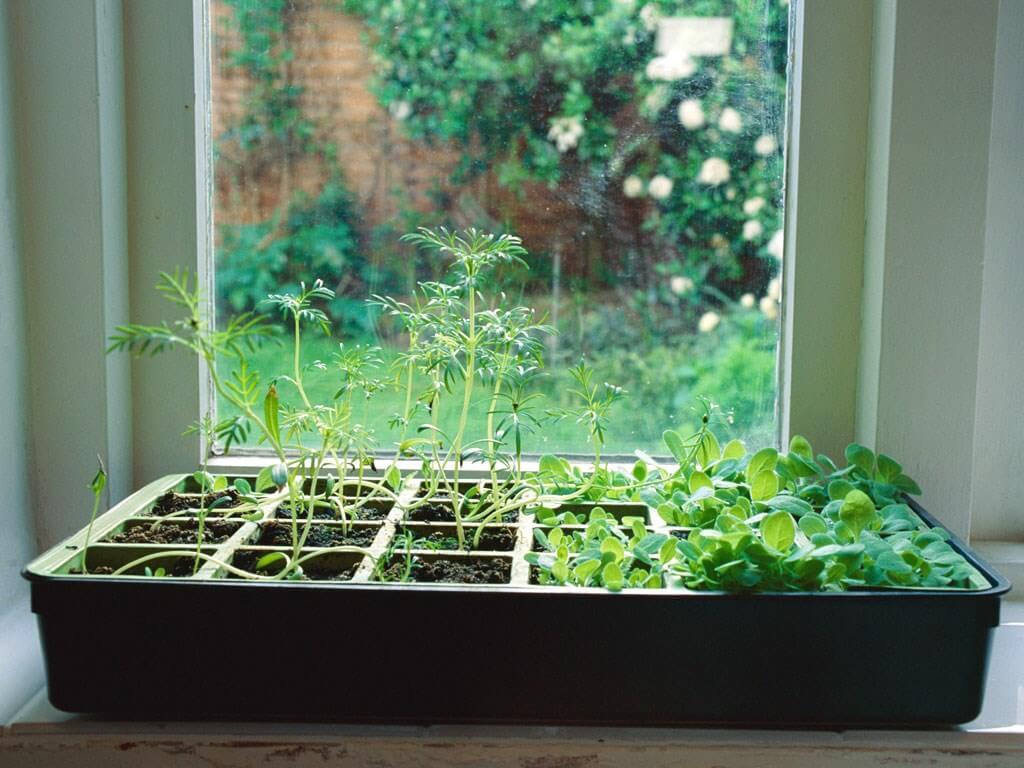 Hình ảnh các loại cây thảo mộc xanh mướt được trồng trong khay nước, đặt ở phòng bếp