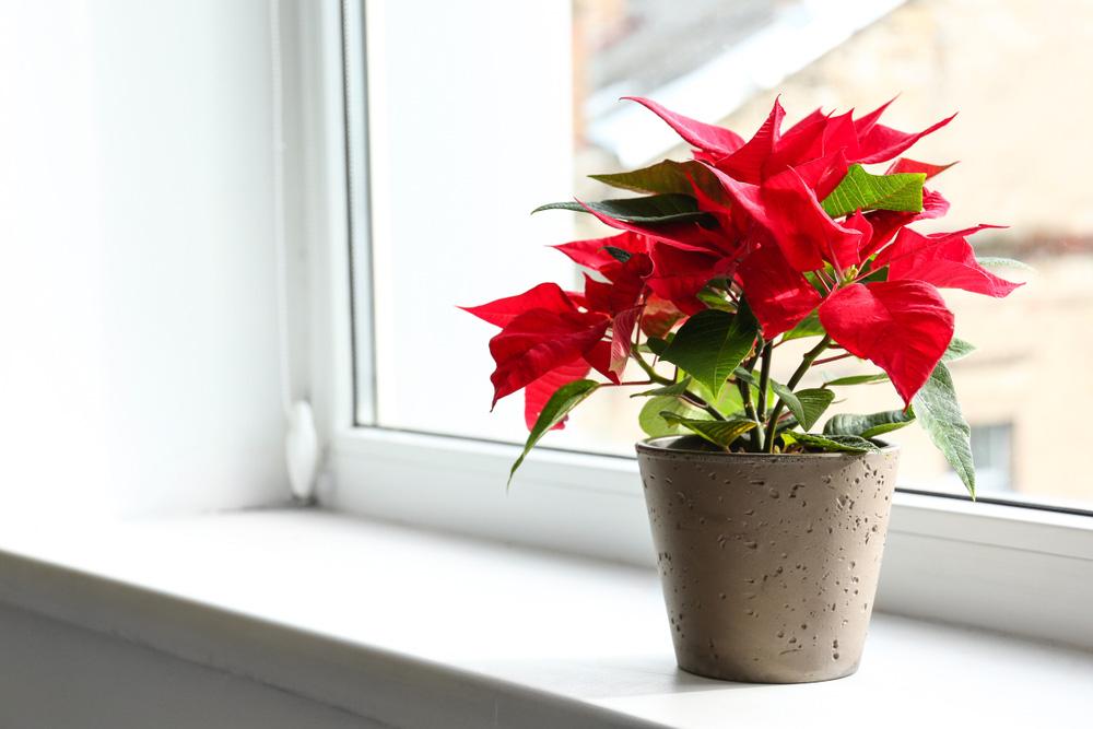 Hình ảnh cận cảnh một chậu cây trạng nguyên màu đỏ đặt trên bệ cửa sổ kính trong suốt