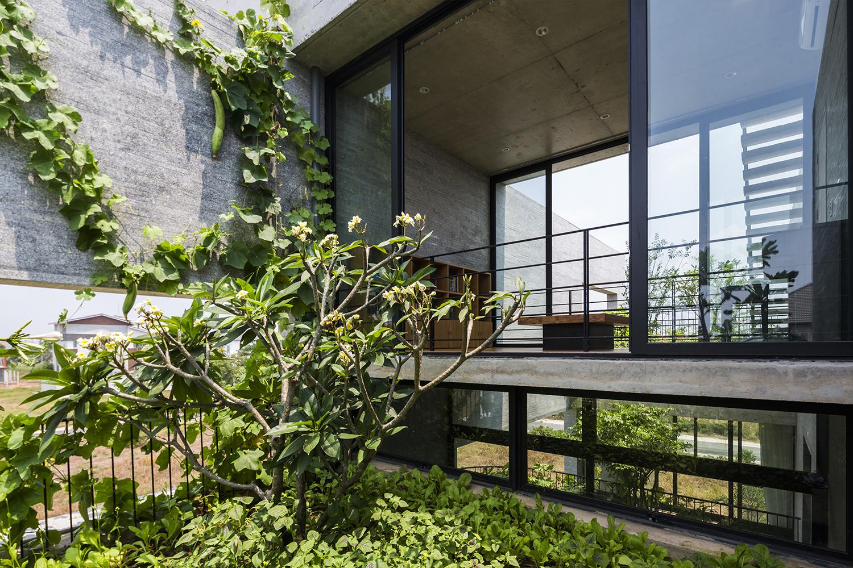 Hình ảnh cận cảnh mướp trồng leo bám vào tường nhà