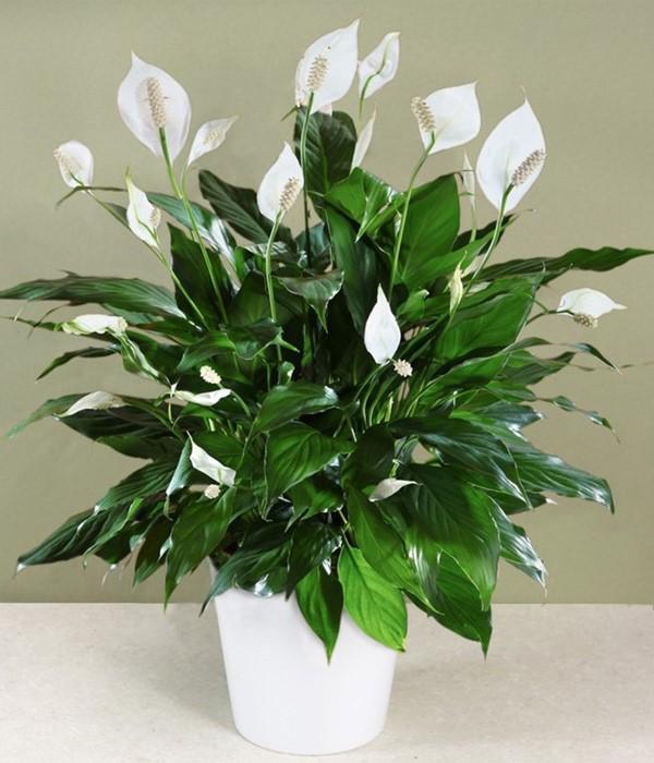 Hình ảnh cận cảnh chậu cây Lan Ý lá xanh, hoa trắng