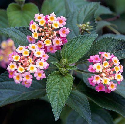 hình ảnh cận cảnh cây hoa ngũ sắc