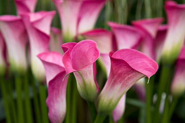 hình ảnh cận cảnh những bông hoa rum màu hồng