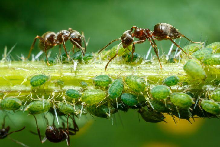 cận cảnh kiến hút mật do rệp cây tiêt ra