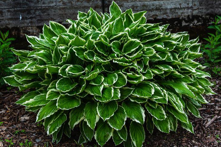 Hosta là loài cây sống lâu năm, sinh trưởng tốt khi trồng ngoài trời, nơi có bóng mát.