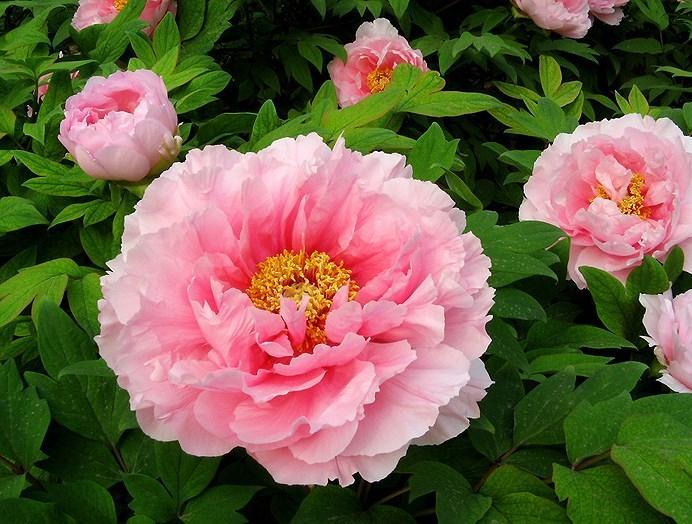 cận cảnh hoa mẫu đơn màu hồng đẹp