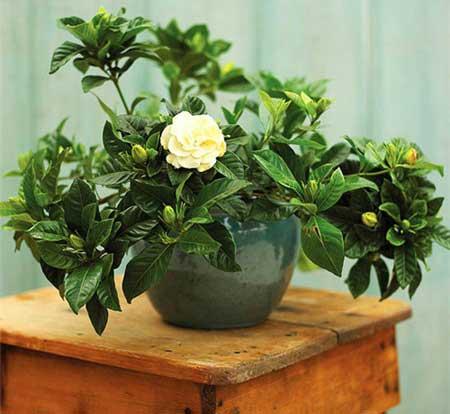 Hoa dành dành có mùi hương dễ chịu, tạo cảm giác thư thái.