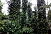 12000m2 đất vườn tiêu đang cho thu hoạch năng suất cao, thuộc ấp 11 xã Xuân Tây