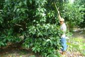 Chính chủ bán đất vườn trái cây Lái Thiêu, xã An Sơn, TX.Thuận An, Bình Dương