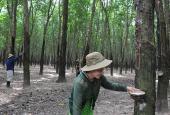 Bán đất cao su Tân Biên, Tây Ninh, DT lớn