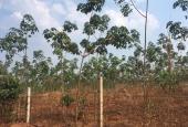 Cần bán gấp 14ha cao su trồng được 2 năm, đất đỏ bazan tại Lộc Ninh, Bình Phước