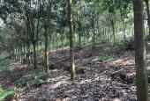 Cần bán rừng cao su tại huyện Mường Ảng, tỉnh Điện Biên