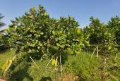 1.6 mẫu (15.886m2) vườn trái cây cực mềm 535.000đ/m2, 8.5 tỷ Tỉnh Lộ 816