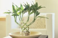 Trồng cây cảnh phong thủy nào trong nhà để gia tăng tài lộc cho gia chủ?
