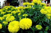 5 loài hoa vừa được trồng làm cảnh, vừa có công dụng đuổi muỗi