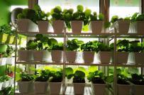 Đã mắt với vườn rau sạch trong nhà và ban công của gia đình Việt ở Czech