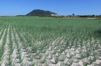 Rầm rộ chuyển nhượng đất nông nghiệp Lý Sơn (Quảng Ngãi)