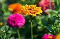Những loại hoa phổ biến và dễ trồng cho khu vườn mùa hè nhà bạn