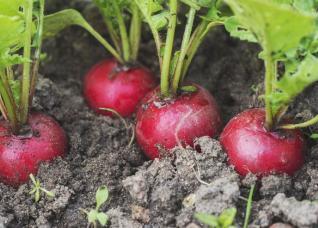 Đây là những loại rau củ mà bạn có thể trồng vào tháng 4